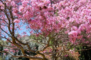 Beautiful cherry blossoms at the Huntington Botanical Gardens in Pasadena, CA.